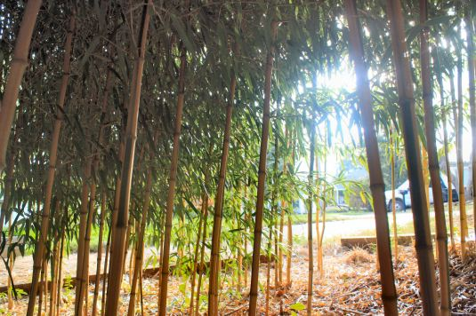 Looking out from Pat Davis' little bamboo grove.